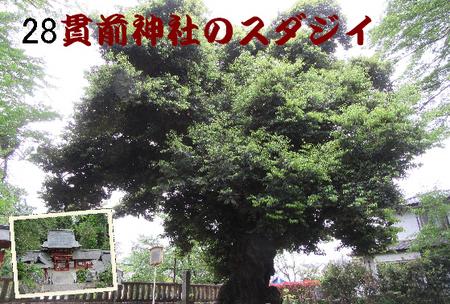 028番 貫前神社のスダジイ (1).jpg