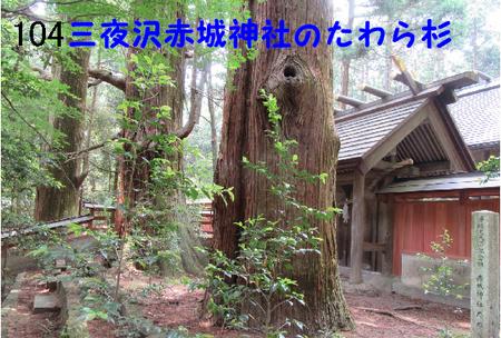 104番 三夜沢赤城神社のたわら杉.jpg