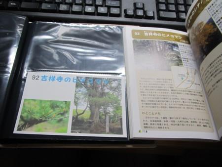吉祥寺のヒメコマツ (5).JPG