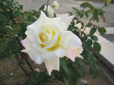 薔薇:ガーデン パーティ[敷島ばら園].JPG