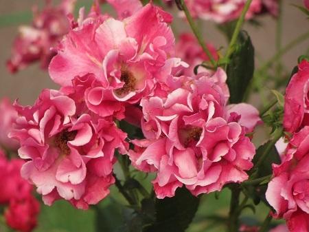 薔薇:パーマネント ウェーブ.JPG