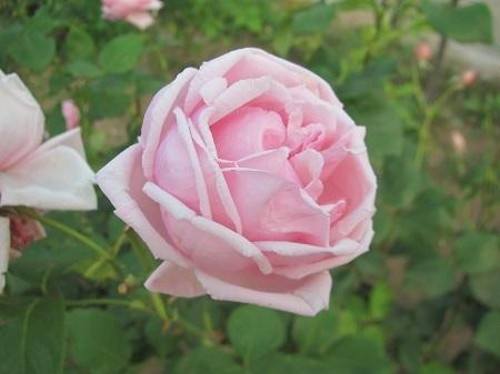 薔薇:ラ フランス[敷島ばら園].JPG